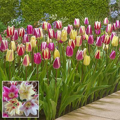 Surprise Tulip Mix
