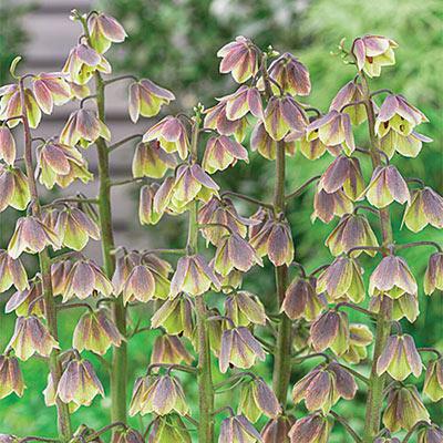 Fritillaria Persica Green Dreams
