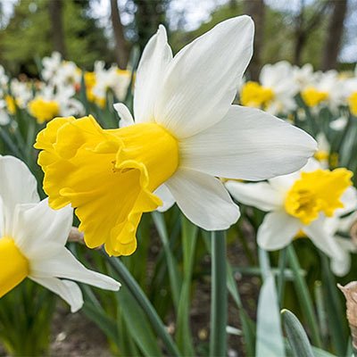 Cyclamineus Daffodil Wisley