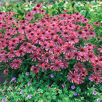 Echinacea 'Lots of Purple Spoons'
