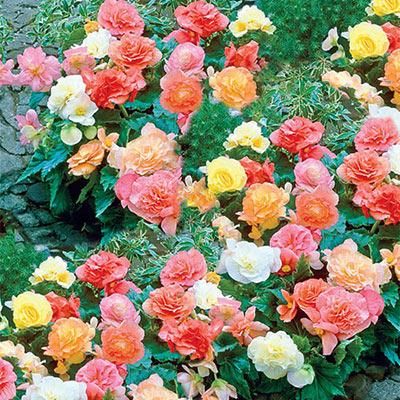 Pastel Begonia Mix