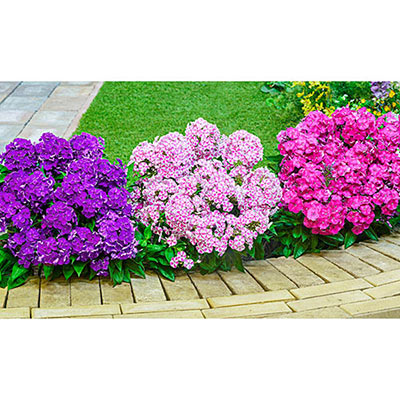 Dwarf Reblooming Phlox Bambini<sup>®</sup> Candy Crush