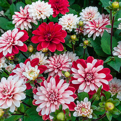 Decorative Dahlia Pacific Time