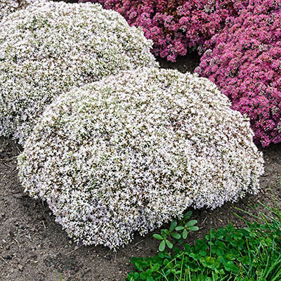 Sedum Bundle of Joy