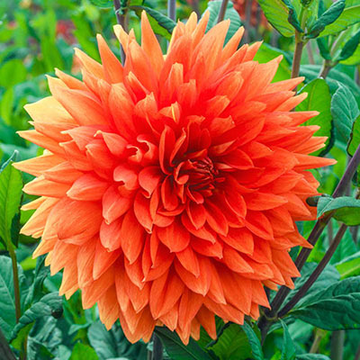 Dinnerplate Dahlia Mrs. Eileen