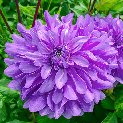 Dinnerplate Dahlia Bluetiful