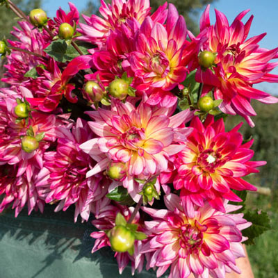 Dinnerplate Dahlia Pinkie Swear