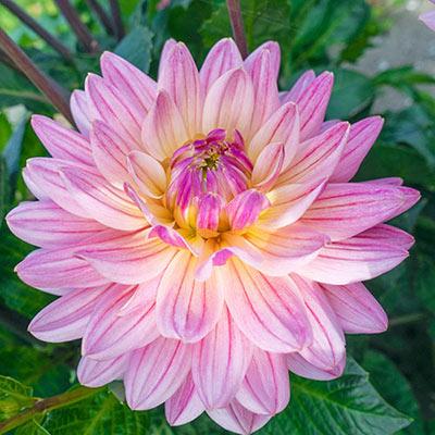Decorative Dahlia Pink Magic
