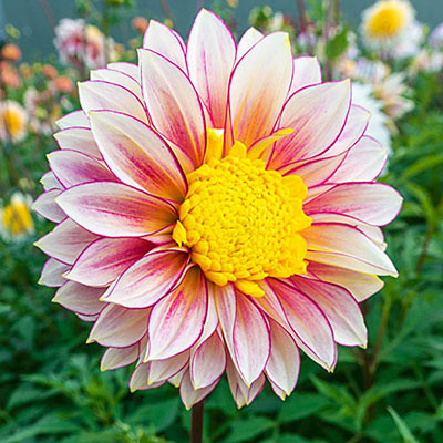 Powder-Puff Dahlia Polka