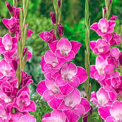 Gladiolus Invitatie