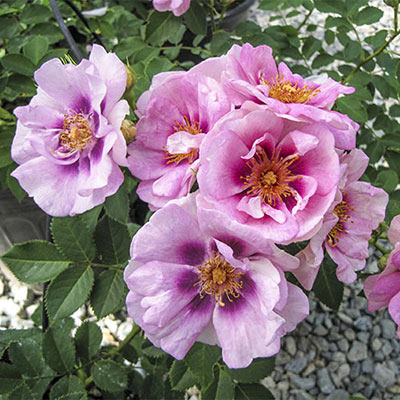 Easy on the Eyes<sup>&trade;</sup> Rose