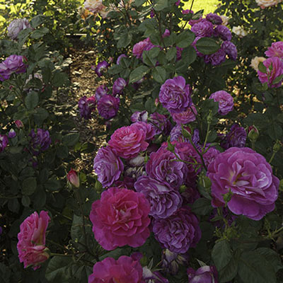 Outta the Blue<sup>&trade;</sup> Rose