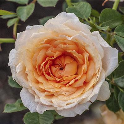 Edith's Darling<sup>&trade;</sup> Rose