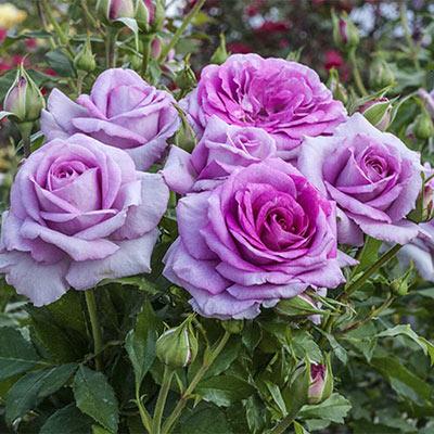 Violet's Pride<sup>™</sup> Rose