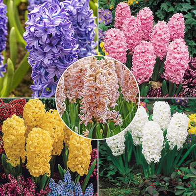Fragrant Hyacinth Collection