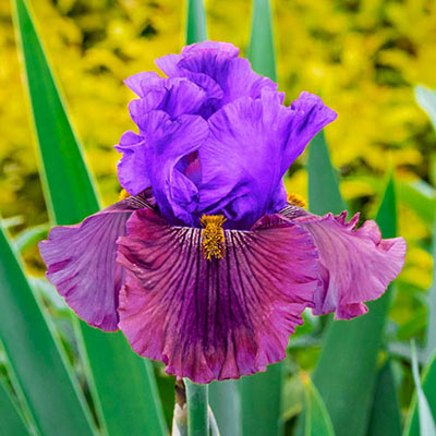 Nelly Tardivier German Iris Crate