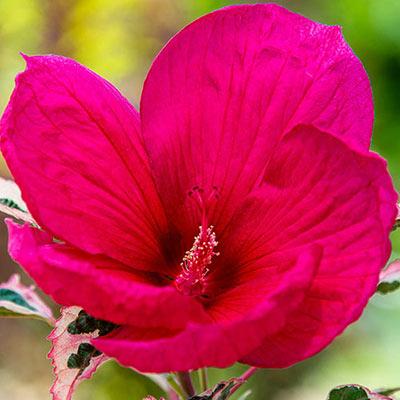 Hibiscus Summer Carnival