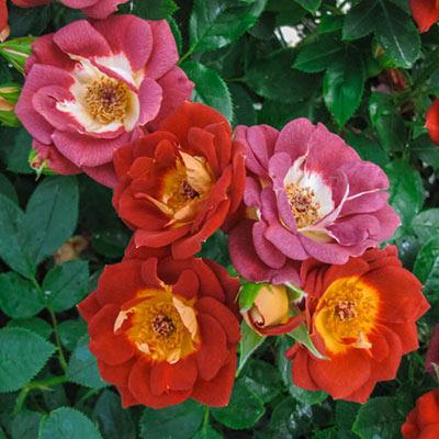 Rose Hot & Sassy™