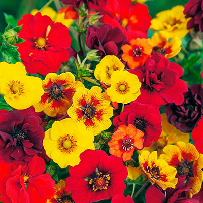 Potentilla Indian Summer Mix