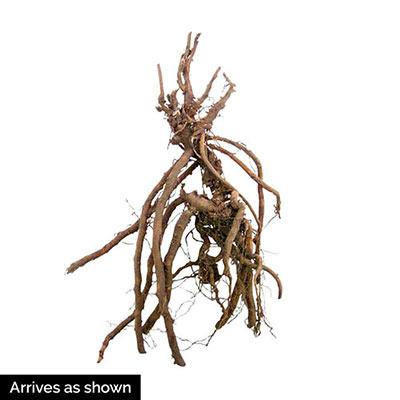 Hardy Geranium Kora<sup>®</sup>