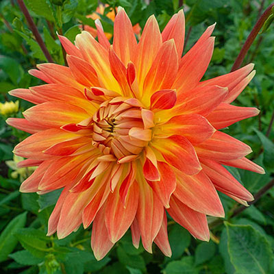 Dinnerplate Dahlia Motto