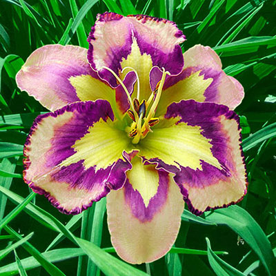 Daylily Spacecoast Behavior Pattern