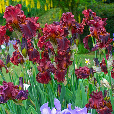 German iris bloom with frilly, deep red standards rising above ruffled, deep red falls