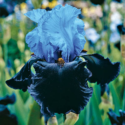 Bicolor German iris in full bloom with icy blue standards rising above midnight-blue falls