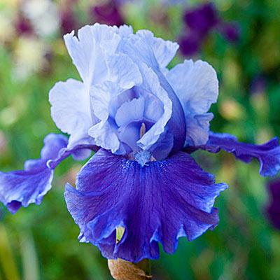 Reblooming German iris in full bloom with bluish-white standards rising above medium blue falls