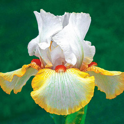 Reblooming German iris with white standards rising above white falls generously edged in yellow and topped with orange beards