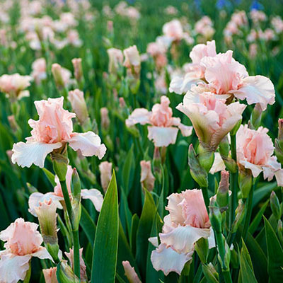 Reblooming German iris with a delicate, lacy form and lovely pink standards and falls