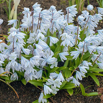Loads of tiny, pale blue, star-shaped flowers bloom on short stems above green basal leaves of scilla mischtschenkoana