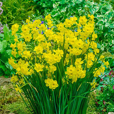 Flower bed displaying loads of jonquilla narcissus with yellow cups and petals blooming above thin, green foliage