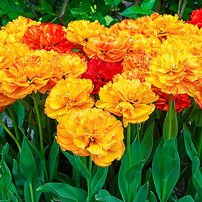 Bird's eye view of 14 double-flowering peonies blooming in a mix of red, yellow and yellow-orange blossoms