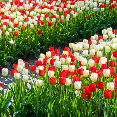 Mix of red and white tulips, with classic egg-shaped form, border both sides of a narrow garden path