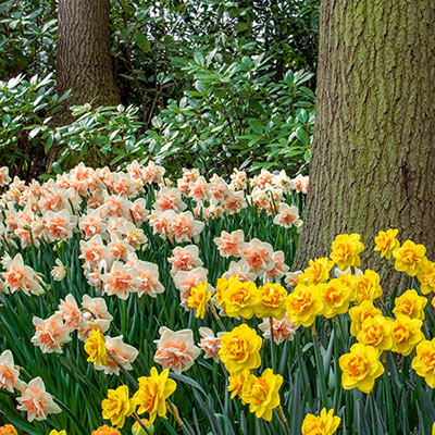 White double daffodils with peachy pink cups and yellow double daffodils with orange cups bloom in a garden beneath a tree