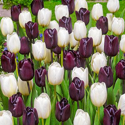 Striking mix of white tulips and deep, dark purple tulips