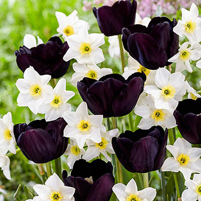 White daffodils with yellow cups bloom among tulips that are nearly black in color