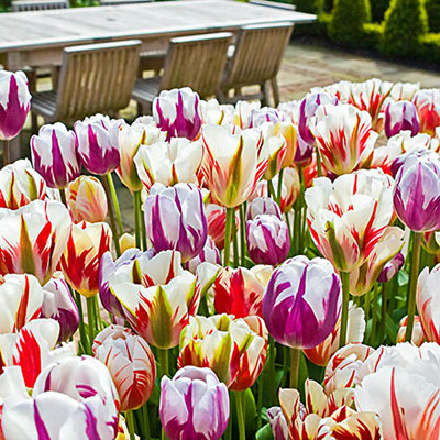 Tulips adorn a dining patio with their velvety white petals accented by flames of either red, purple or a mix of both colors