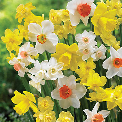 Mix of yellow and white daffodils with double or trumpet-shaped cups of same or contrasting hues of yellow, pink or orange