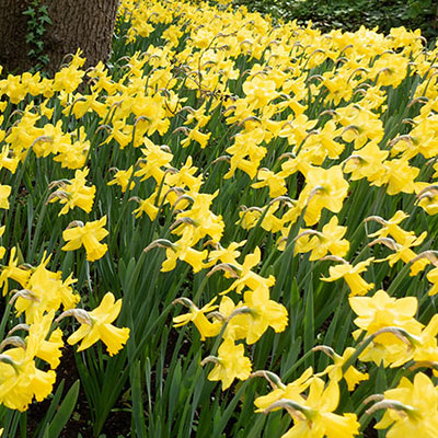 Profusion of daffodils with yellow petals and yellow, trumpet-shaped cups