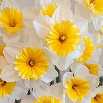 Large-Cupped Daffodil Slim Whitman
