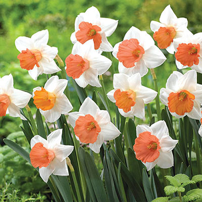 White daffodils with contrasting coral cups blooming amid green, straplike leaves