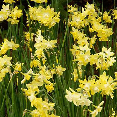 Closeup of 3 lemon-yellow daffodils with white color radiating from the center of their corollas where snowy white cups perch