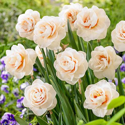 Ten roselike double daffodils with creamy white petals, accented by bold orange petaloids, blooming amid tiny purple flowers
