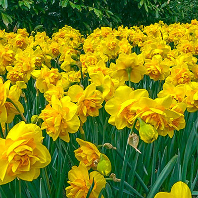 Swath of fluffy, golden-yellow double daffodils, with vibrant orange central petals, blooming above green foliage