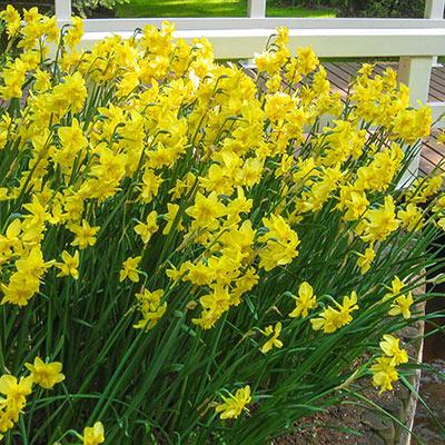 Split-Corona Daffodil Tripartite