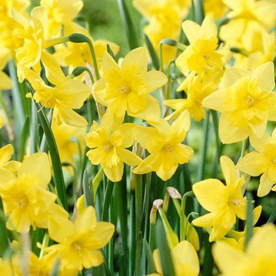 An abundance of sunny, yellow daffodils blooming amid green, straplike foliage