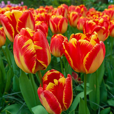 Yellow, upright, bell-shaped tulips accented with a fiery red color that creates a feathery look as it moves toward the edges