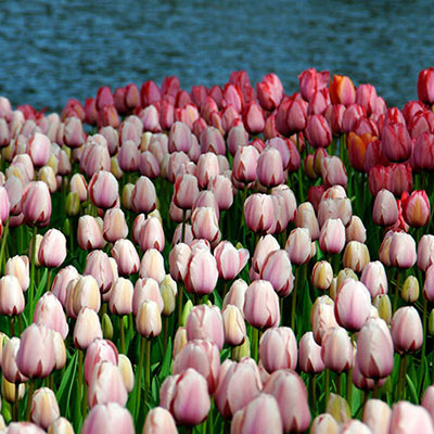 Closeup of Salmon Impression, a Darwin hybrid tulip, in its open form with soft salmon petals edged in a pale pink hue